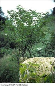 Elderberry tree and flower