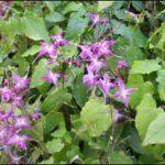 Horny Goat Weed - herbal aphrodisiacs
