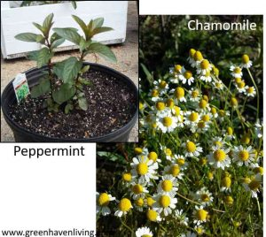 Peppermint and Chamomile