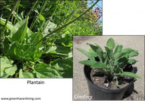 Plantain and Comfrey