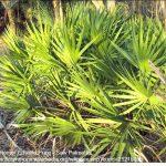 Saw palmetto - male reproductive tonic