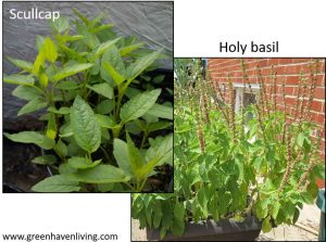 Scullcap and Holy Basil