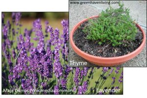 Thyme and Lavender