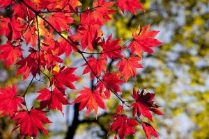 Autumn leaves - allergy season?