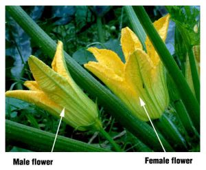 Zucchini male and female blossom